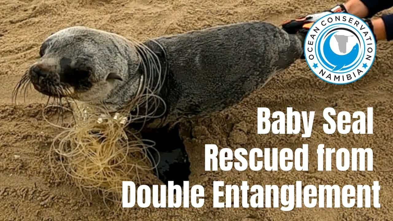 Baby Seal Saved From Double Entanglement
