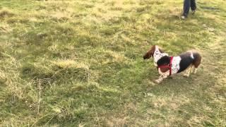 Бассет хаунд и коровы (Basset Hound and cows)