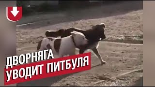 Дворняге стало одиноко и она похитила питбуля. Забавное видео из Новороссийска
