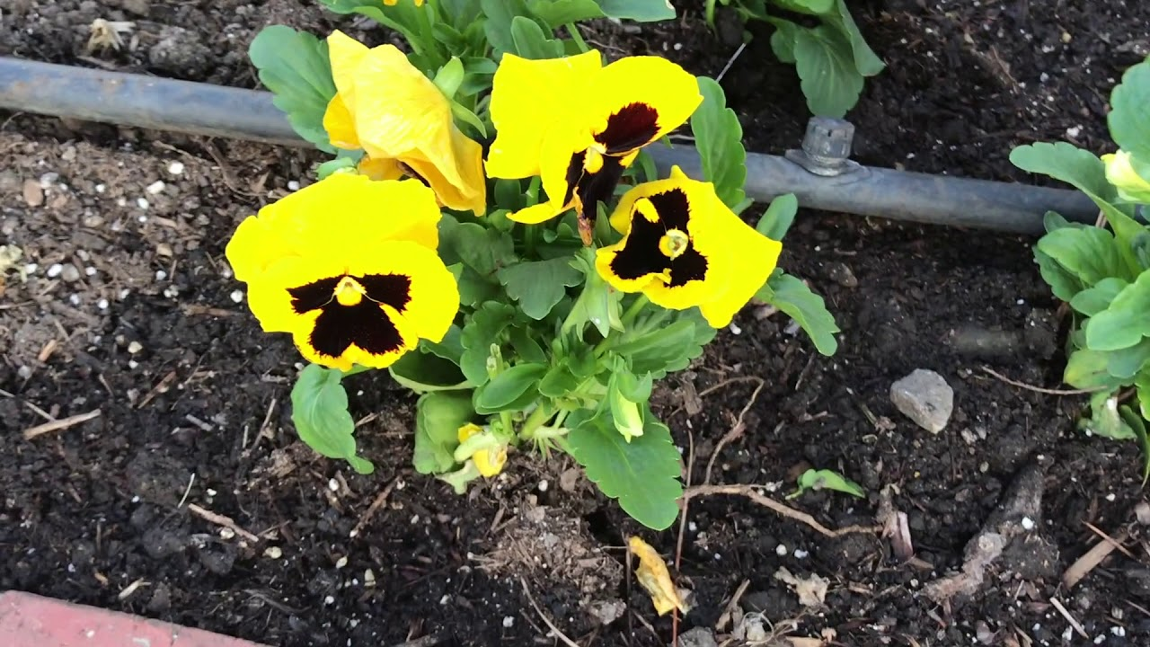 New Day Pansies