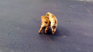 Cute Sharpei Puppies Fight!!