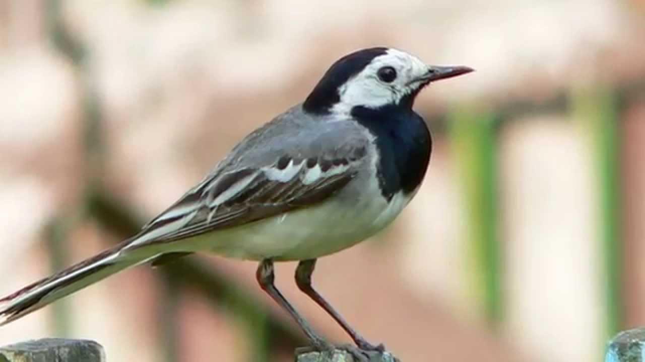 Пение птиц! Слушать Пение птиц - Белая трясогузка . Звуки птиц