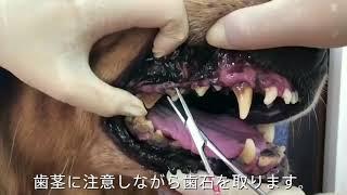 マジックゼオ歯磨きの使い方(大型犬 ケビン)