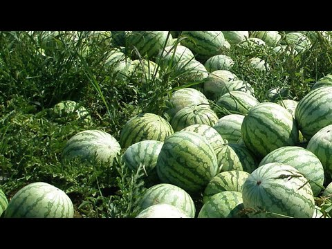 The Success Story of Watermelon Agriculture