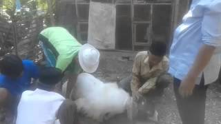 Kurban Maung Biru Part 1 (DottMaung)