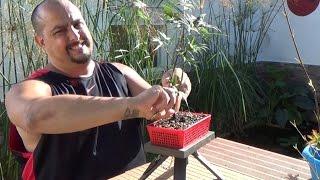 Bonsai Zero Palmatum - defoliado