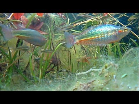 Rainbowfish In Chinatown Brisbane - Melanotaenia Duboulayi