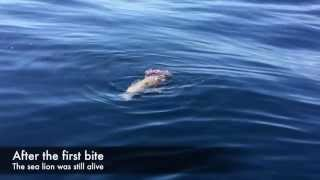 White Shark attacks sea lion in Santa Barbara, CA 9/13/15