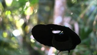 Victoria's Riflebird - Bird of Paradise
