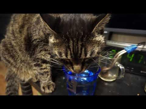 ASMR - пьющий из стакана кот! ASMR-drinking From A Glass Cat!
