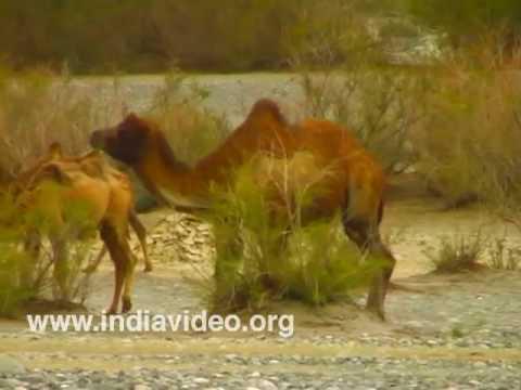 Bactrian Camel at Nubra Valley