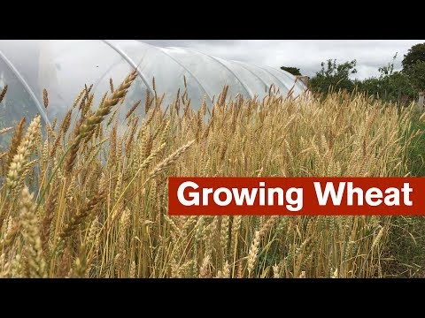 Growing Wheat For The First Time