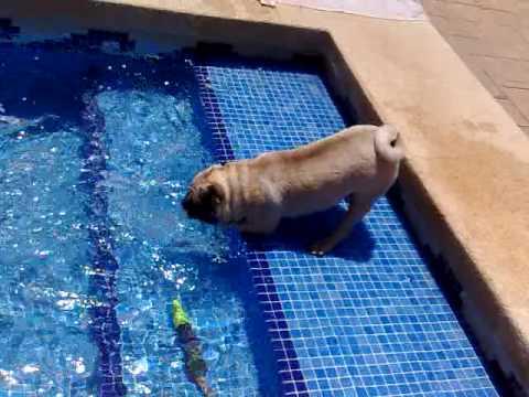 Carlitos, carlino en la piscina