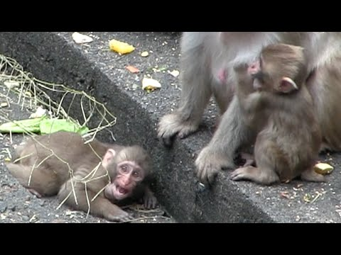 Baby monkey cry while looking for a mom