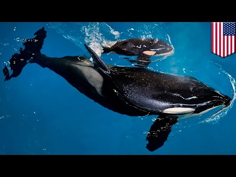 SeaWorld baby orca: Pregnant killer whale gives birth to last orca at marine park - TomoNews