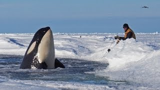 Dramatic raw footage of NOAA researchers tagging orcas with cross bows (killer whales) in Antarctica