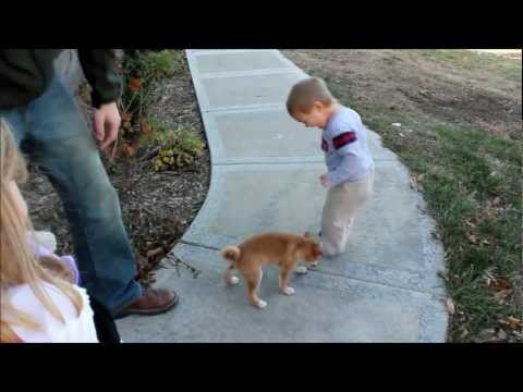 WE GET A NEW DOG!  GIDEON'S FIRST VIDEO - SHIBA INU
