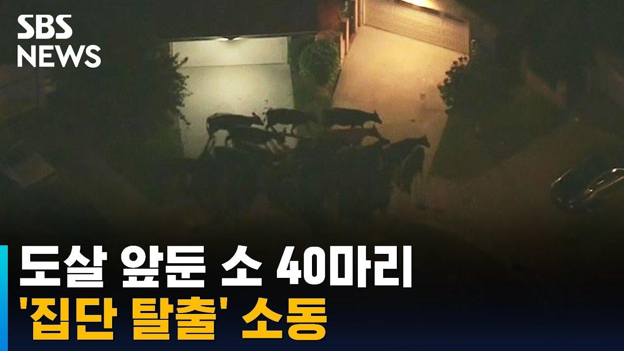 도살 앞둔 소 40마리 집단 탈출…순식간에 인근 마을로 / SBS