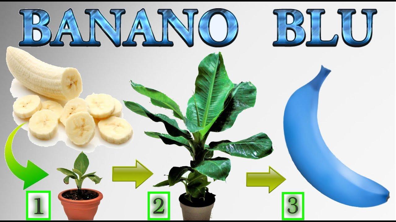 Come Coltivare Un Banano fai nascere una banana blu in casa, come fare nascere una