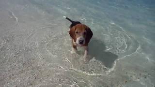 20100504_rawa Island In Malaysia - Beagle In Beach