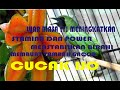 Luar Biasa Manfaat Buah Blimbing Buat Cucak Ijo  Mp3 - Mp4 Download