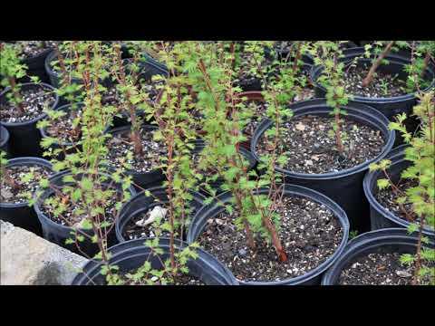 Small Dawn Redwood Trees      EZ to Grow Trees     Bucks County Grown