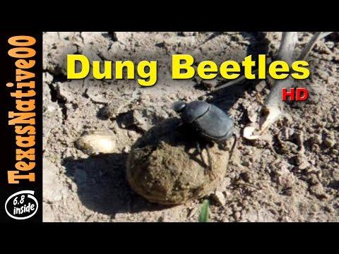 Dung Beatles Rolling in Poop
