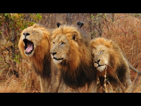 National Geographic Wild ~ lions Brothers in Botswana