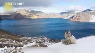 Little white fox was seen on Changbai mountain in NE China's Jilin