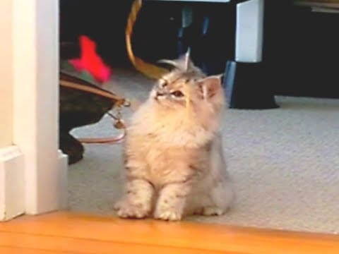 Maine Coon kitten playing with feather teaser