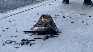 Hawk eating crow