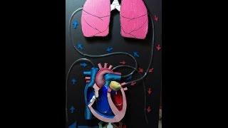 3d Sistema vascular