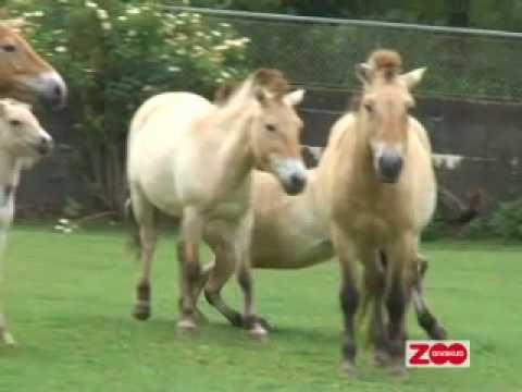 Przewalski hest: Et mærke på rumpen
