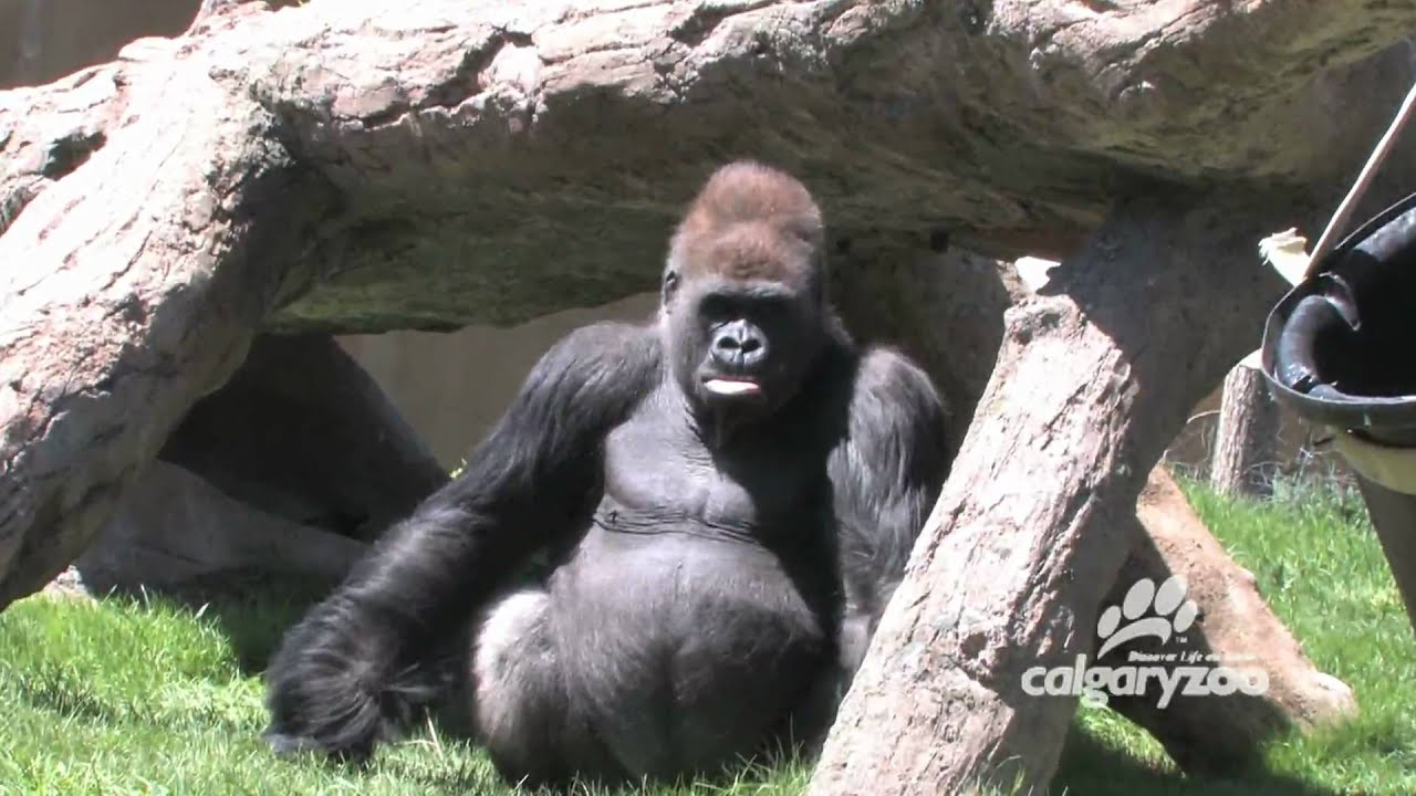Calgary Zoo - Gorillas - BizBOXTV : Funny animal video videos