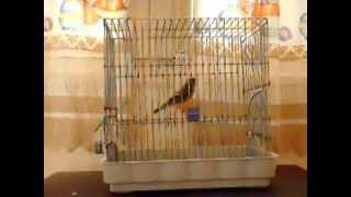 معالجة نقص الكالسيوم عند حميع العصافير -طارق دباح-