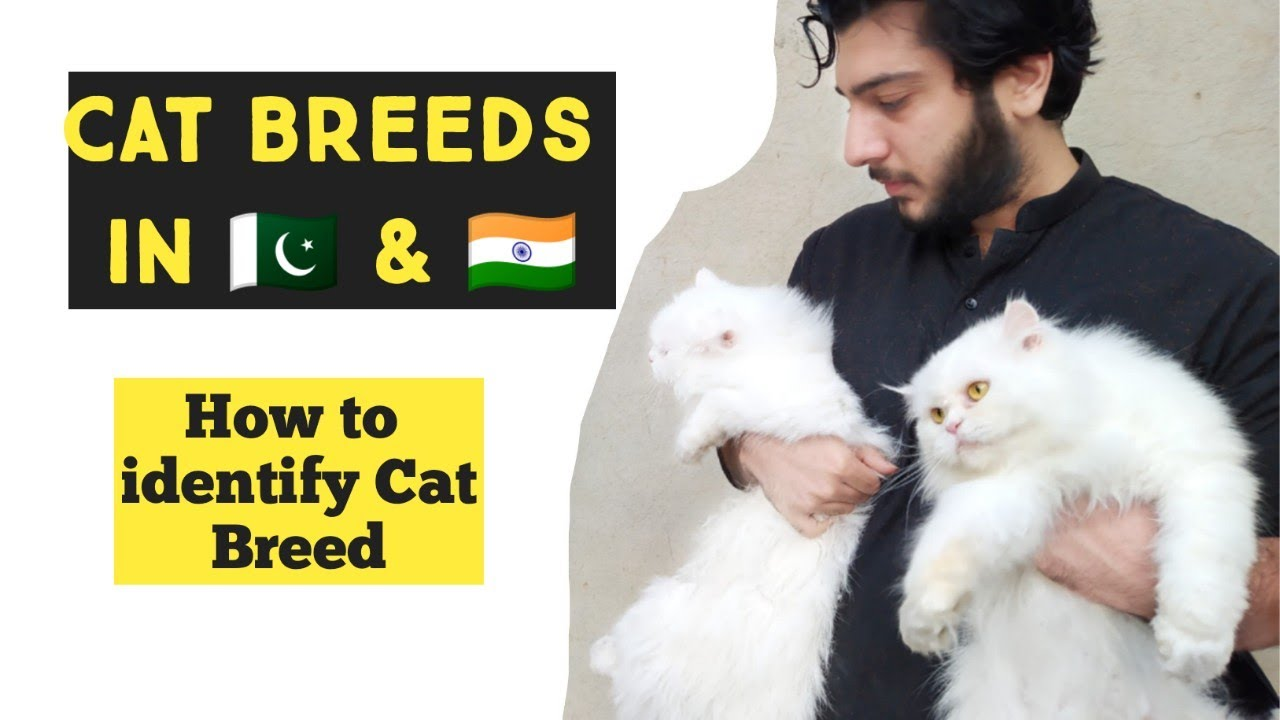 How To Identify Cat Breed Common Cat Breeds In Pakistan And India Identify Types Of Persian Cat Youtube