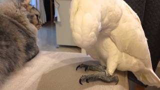 猫の撫で方を練習するオウム thumbnail