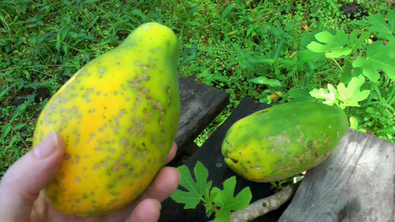 how to make papaya rennet