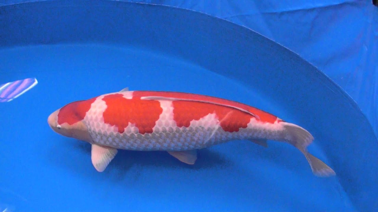 Grand champion of 2016 all japan koi show youtube for Champion koi fish