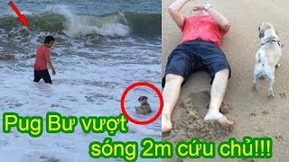 🏊Chó Pug Bư vượt sóng biển cao 2m cứu chủ - Bư quậy nhưng rất trung thành 😂 Pugk Vlog