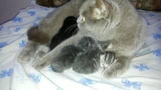 Милые котята с мамой. День второй. Шотландская прямоухая кошка с детками