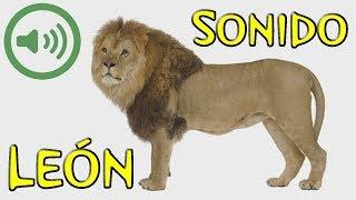 Rugido de León - Panthera leo