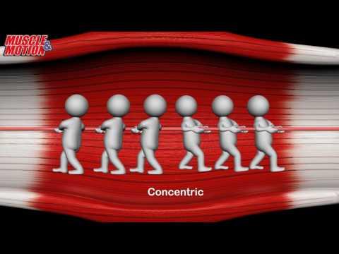 Concentric / Eccentric contraction