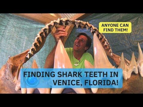 Finding Shark Teeth Venice Florida-Shark Tooth Capital Of The World
