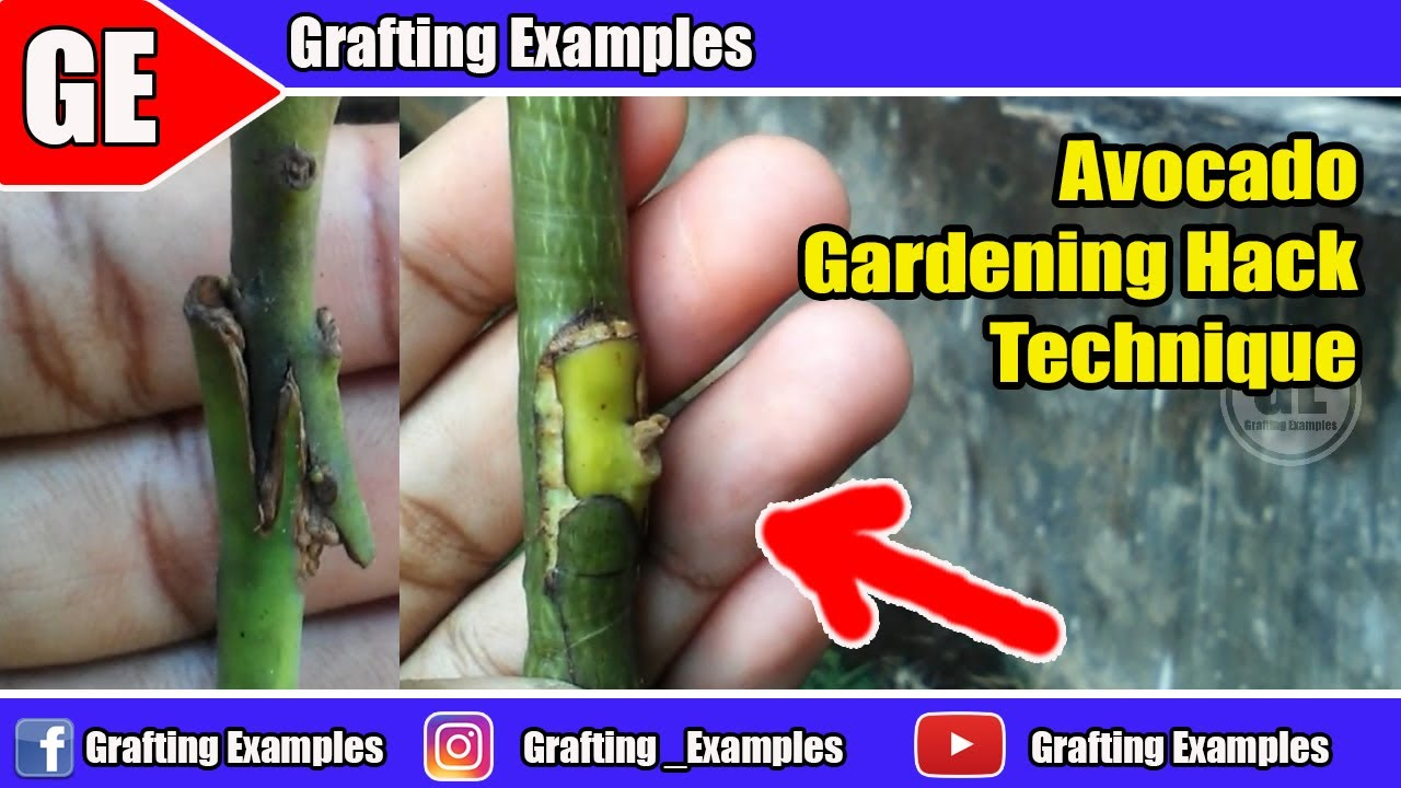 Hack Technique On Avocado Tree