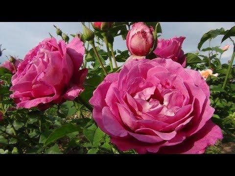 Обрезать или не обрезать розы на зиму. Укрываем розы.