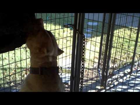 pitbull on spring pole