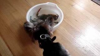 Yorkie & Cocker Spaniel Dog Vs Blue Crab