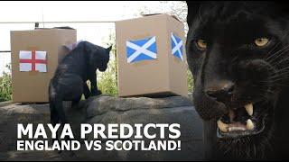 ENGLAND VS SCOTLAND PREDICTION! - The Big Cat Sanctuary