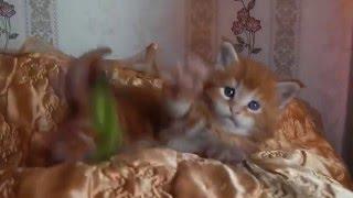 ЛИРИКУМ Цимус 1 месяц котенок мейн-кун